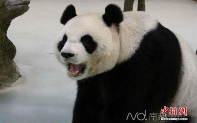 panda-pregnant-3