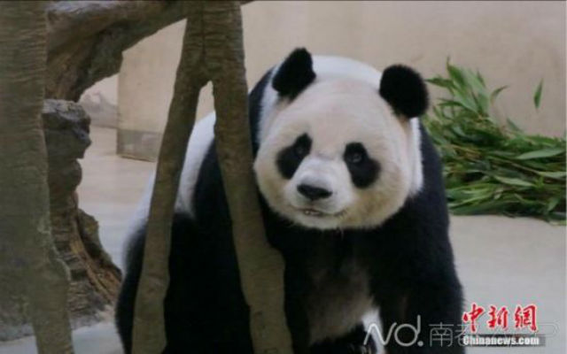 panda-pregnant-5