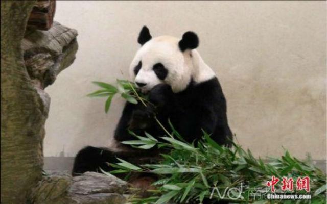 pregnant-panda-1